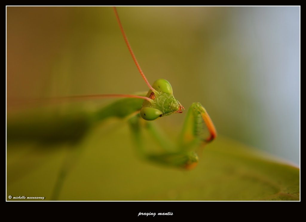 Michelle Meenawong: Praying Mantis, 2012