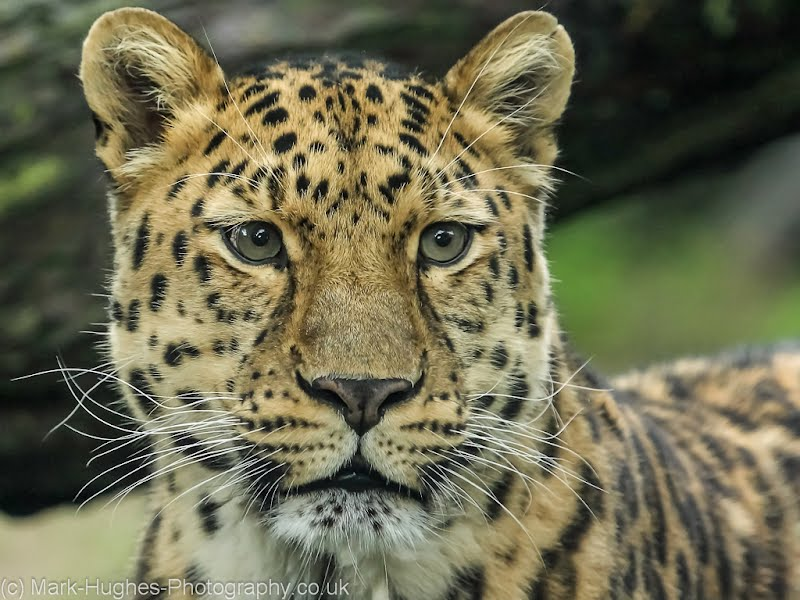 Mark Hughes (UK, Wildlife): Amur Leopard, 2012