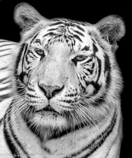 Mark Hughes (UK, Wildlife): White Tiger, 2012